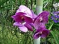 Orchid - Chiang Mai.jpg
