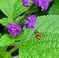Orchid Bee. Euglossa sp. - Flickr - gailhampshire.jpg