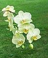Orchidee (phalaenopsis) (actm) 01.jpg