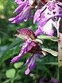 Orchis purpurea sl25.jpg