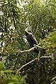 Oriental Darter Anhinga melanogasterfrom Ranganathittu Bird Sanctuary JEG4416.JPG