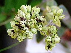 Origanum vulgare dry.jpg