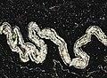 Orinoco Granite (garnetiferous convoluted gneiss) 11 (33170981694).jpg
