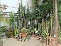 Orto botanico, fi, serra fredda, cactus.JPG