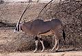 Oryx samburu.jpg