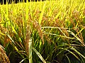 Oryza sativa Ear rice Stugaru roman rice IMG 3969.jpg