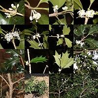 Osmanthus heterophyllus (Montage s3).jpg