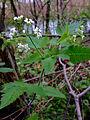Osmorhiza longistylis - Aniseroot.jpg