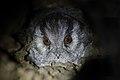 Owlet Nightjar (Aegotheles cristatus) (43643514461).jpg