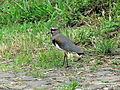 Pássaro em Santa Maria do Herval 003.JPG