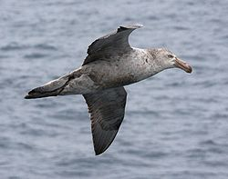 Pétrel de Hall - - Northern Giant Petrel.jpg