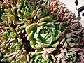 P1130561 Haworthia cymbiformis (Aloeaceae).JPG