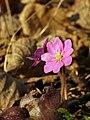 P1140409 Hepatica nobilis.jpg