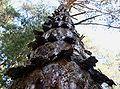 PNBT Pinus silvestris odmiana kołnierzykowata z dołu 03.07.10 p.jpg
