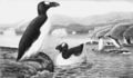 PSM V62 D510 The great auk.png