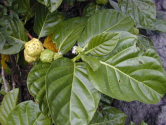 Bush tucker - ''Morinda citrifolia'' (Great Morinda)