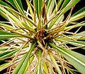 Pachypodium lamerei3.jpg