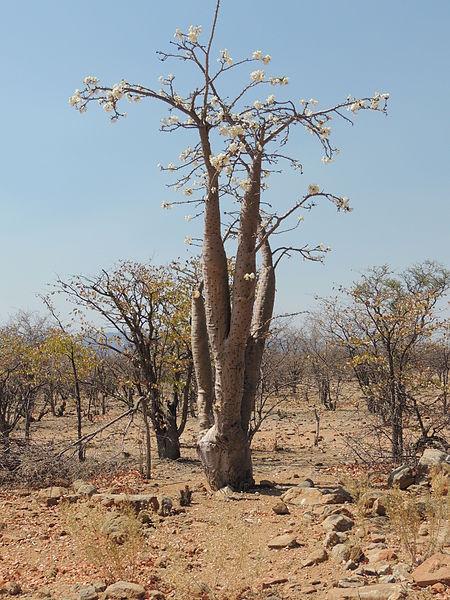 File:Pachypodium lealii 2.JPG