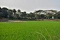 Paddy field in Bangladesh (32901445855).jpg