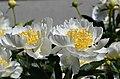 Paeonia lactiflora cv. Gold Rush Pair.jpg