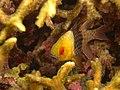 Pajama Cardinal Fish-MACTAN - panoramio (1).jpg
