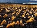 Pajonal con la Laguna Verde al fondo (Potosí - Bolivia).jpg