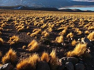 Jarava ichu - Image: Pajonal con la Laguna Verde al fondo (Potosí Bolivia)
