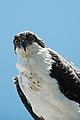 Pandion haliaetus -Sanibel Island, Florida, USA -juvenile-8 (1).jpg