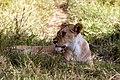 Panthera leo 2011-07-18 09-13-24 30D (14414049866).jpg