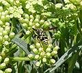 Paper Wasp - Polistes mongolicus (8415652405).jpg