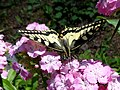 Papilio machaon 08.JPG
