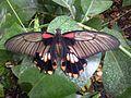 Papilio memnon-20140820.jpg