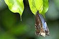 Papillon Hunawihr 5.jpeg