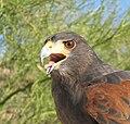 Parabuteo unicinctus -Arizona-Sonora Desert Museum, Tuscon, USA-8b.jpg