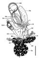 Parasite140121-fig1 Pseudorhabdosynochus jeanloui (Monogenea, Diplectanidae) Fig1d Reroductive organs.png