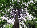 Parc National Forestier de la Poudrerie de Sevran - Séquoia géant 03.jpg