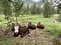 Parcours des fées (Crévoux) juillet 2020 (des vaches) - 2.jpg