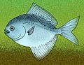 Pasaichthys pleuronectiformis.jpg