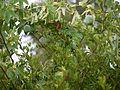 Passiflora subpeltata (5592091619).jpg