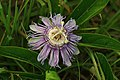 Passionflower (5991861585).jpg
