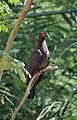 Patagioenas squamosa in Barbados a-01.jpg