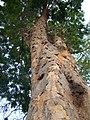 Pau-brasil mococa sp.jpg