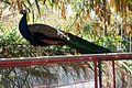 Peacock 11.jpg