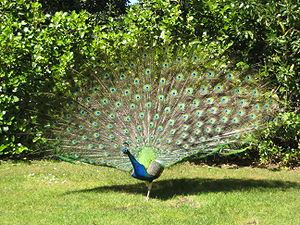 A shot of a peacock