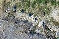 Pelagic Cormorant Chimney Rock Pt Reyes Marin CA 2019-03-11 13-13-36 (48265111852).jpg