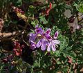 Pelargonium Staghorn Oak.jpg