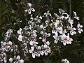 Pelargonium crithmifolium3.jpg