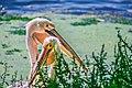 Pelican Bird - গগণবেড়.jpg