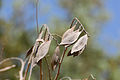 Peltophorum africanum, sade, Jan Celliers Park.jpg