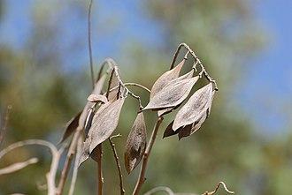 Peltophorum africanum - Image: Peltophorum africanum, sade, Jan Celliers Park